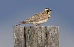 Horned Lark (Hockey.Lover) Tags: birds sierravalley hornedlark dysonroad sierravalley2016