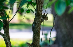 Hidden Temptation (Gabriel FW Koch) Tags: wild brown white black tree cute green nature canon outside eos rodent eyes squirrel funny dof looking bokeh wildlife tail gray fluffy sunny hidden shade paws hiding spying