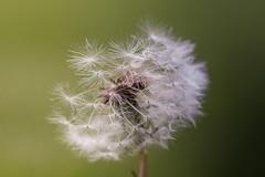 Dandelion (naddesigns) Tags: white toronto canon wind dandelion flowerseeds