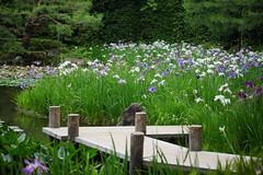 () /Iris ensata (nobuflickr) Tags: iris flower nature japan kyoto    irisensata heianjingushrine japanesewateriris    20160609dsc02040