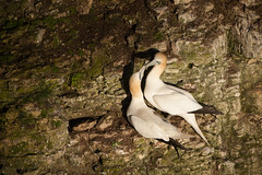 SJ7_7807 (glidergoth) Tags: birds coast flying yorkshire flight cliffs breeding colony seabird gannet morusbassanus rspb bemptoncliffs britishbirds