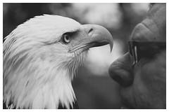 Vertrautheit (GST Foto's) Tags: falkner weiskopfseeadler