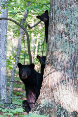 _DSC3643-2 (KewliePhotos) Tags: bear cub virginia nationalpark wildlife bears shenandoah shenandoahvalley blackbear blackbears bearcub shenandoahnationalpark blackbearcub