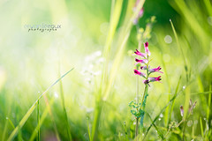 C'est l'printemps ... profitons-en ! (Rouz 29) Tags: light flower macro green fleur spring nikon lumire bretagne vert tokina nikkor morbihan printemps proxy lorient photographe macrophotographie proxyphotographie sirui erwanleroux