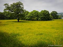 Field near Worsbrough (Roger B.) Tags: buttercup unitedkingdom meadow grassland barnsley southyorkshire