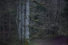 oaks (Mindaugas Buivydas) Tags: trees color tree forest dark evening spring twilight oak mood moody darkness april lithuania shallowdepthoffield lietuva softgreen pavilniregioninisparkas pavilniairegionalpark