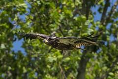 EASTERN KINGBIRD RIDING BALD EAGLE (nsxbirder) Tags: baldeagle indiana haliaeetusleucocephalus brookville whitewaterriver easternkingbird tyrannustyrannus