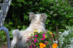 Ruffy looking at the sleeping angel on the fence (Dotsy McCurly) Tags: ruffy cute dog cairnterrier yard flowers nature beautiful dof nikon d750 nj