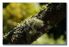 Moss covered branch (Descended from Ding the Devil) Tags: dof devon greattorrington rhs rosemore sonya7mkii sonya7fmkii beyondbokeh bokeh branch depthoffield fullframe lichen mirrorless photoborder selectivefocus tree