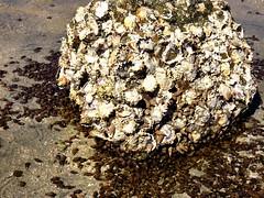 IMG_0232 (Tina A Thompson) Tags: sonora seashells mexico sealife seashell marinebiology tidepools seaofcortez marinelife chollabay mexicobeaches chollabaymexico