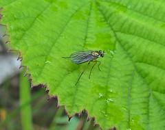Minute (Bricheno) Tags: macro bug insect scotland escocia szkocja renfrew hoverfly schottland scozia cosse  esccia   bricheno scoia