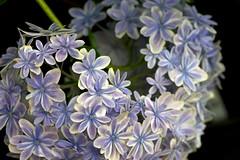 Silence world (tez-guitar) Tags: summer flower temple pentax blossoms petal bloom hydrangea tamron pentaxart