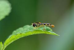 Schwebfliege (.:matze:.) Tags: schwebfliege syrphidae makro macro green fly hoverfly flowerfly