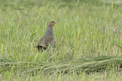 Gray Partridge - Lifer! (featherweight2009) Tags: birds partridges perdixperdix graypartridge grounddwellingbirds