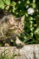 Huntress (flashfix) Tags: august012016 2016 2016inphotos nikond7000 nikon ottawa ontario canada 55mm300mm cat feline mouse outside backyard stump nature mothernature animal backyardphotography flashfix flashfixphotography