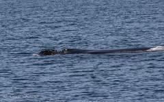 Humpback whale blowhole (TKovener) Tags: humpback whale california blowhole