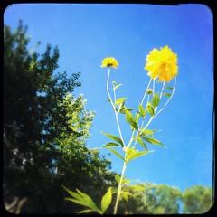 Yellow (DjD-567) Tags: nh salisbury sky blue flower yellow thebestyellow