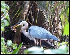 Blue Heron Fish Dinner (Dusty_73) Tags: blue heron bird nature wildlife fish animal kingdom circle b bar ranch lakeland fl florida usa polk county outdoors