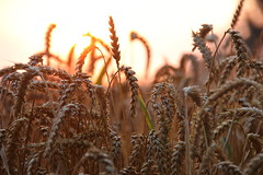 Weizen in der Abendsonne (janakintrup) Tags: sonnenuntergang sunset gold gelb orange rot weizen ernte gegenlicht canon grser outdoor feld weizenfeld sonne sonnenschein landschaft abendsonne abendlicht