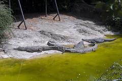 Alligatori (querin.rene) Tags: renquerin qdesign parcolecornelle parcofaunistico lecornelle animali animals alligatore sole