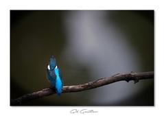 .. (Gil Gautier @GilGPhotographie) Tags: gilgphotographie gilgautier nikon d3s 300mm martin martinpecheur kingfisher isere france