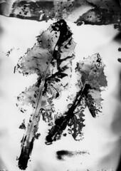 Clichè verre (Pirogallolo) Tags: bw flora esperimenti alternativeprocess altprocess fotografiaanalogica pirogallolo danilopedruzzi