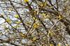 sombokor / dogwood bush (debreczeniemoke) Tags: plant flower tree yellow forest spring corn dogwood fa tavasz virág dirndl corneliancherry cornusmas cornaceae növény sárga kornelkirsche erdő cornouillermâle europeancornel herlitze húsossom dürlitze hirlnuss canonpowershotsx20is somfélék corneuropean