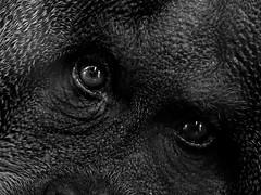 (Px4u by Team Cu29) Tags: portrait gorilla portrt augen blick affe augenblick zuschauer menschenaffe primat schauen sehen gaffen mnchnertierparkhellabrunn