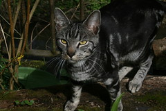 Spring 2015 (Danielle Claire) Tags: old sunlight cute yellow cat silver garden outdoors grey 1 log eyes tabby year kitty whiskers marble markings