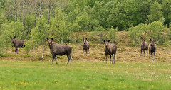 6 of 16 moose in this boys club (@anette-tre) Tags: nature animal norway norge wildlife natur north moose nord nordnorge dyr elg kjerringy dyreliv villedyr