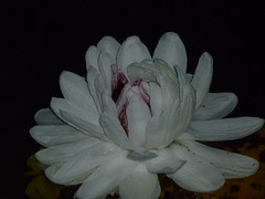 Blooming water lilly