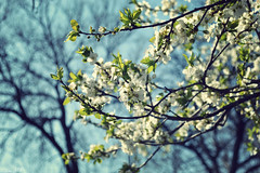 Beneath  the blooming trees (**oana**) Tags: flowers white nature spring nikon april