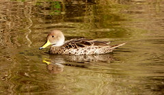 Pato Jergón Grande (Camil.Gherardi) Tags: chile birds vregión yellowbilledpintail anasgeorgica patojergóngrande parquetricao