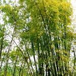 Bamboo Forest Bamboo at 內門順賢宮 Neimen Shun Sian Gong thumbnail