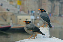 BETTER BE A FREE BIRD, THAN A CAPTIVE KING ! (GOPAN G. NAIR [ GOPS Photography ]) Tags: india birds photography bank varanasi kashi benaras ghat myna mynah gops gopan acridotheres ginginianus gopsorg gopangnair gopsphotography