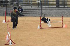 agility253 (jaimekay16) Tags: dog training austin agility k9 xpress nadac k9x