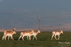 March 22, 2015 - Pronghorn in a field in Adams County. (Tony's Takes)