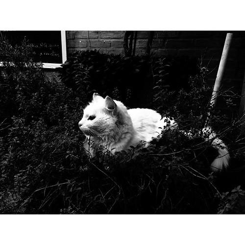 #white #cat