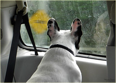 Reflections of Daisy (marneejill) Tags: reflections french moving ears bulldog daisy vehicle spotted behind