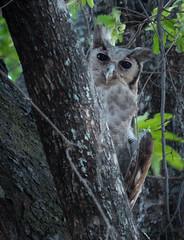 White Faced Owl (Tony Tarry) Tags: birds fauna eastern owls floraandfauna zambia zm whitefacedowl