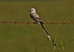 Scissor-tailed Flycatcher, Tyrannus forficatus, Pineville Missouri, Photo by Wes (wesbird72) Tags: blue wild brown white black green bird eye feet grass birds america fence grey fly wings wildlife tail birding gray wing beak feathers feather american missouri barbedwire perch catch aba perched catcher winged barbwire birder tails tailed scissor tyrant feathered flycatcher tailfeathers northamericanbirds scissortailedflycatcher tyrannusforficatus pinevillemissouri americanbirds missouribird missouribirds birdsofnorthamerica americanbirdingassociation photobywes birdsofmissouri abaarea americanbirding americanbirder missouribirding missouribirder