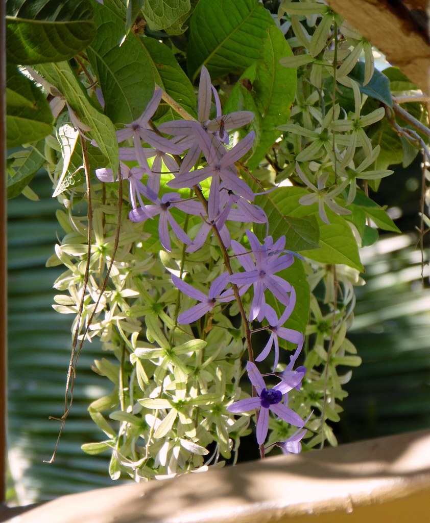 The worlds best photos of flowers and petrea flickr hive mind chihuly flowers 3 outdoormagic tags flowers florida vine petrea queenswreath mightylinksfo