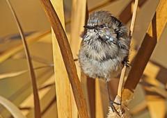 Blue wren - change nearly complete (dianecutting44) Tags: birds australia canberra australianbirds superbfairywren canonprimelens australianbluewren malebluewren canon7dmark2