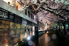 京都の夜桜 (nobuflickr) Tags: japan cherry kyoto 桜 sakura 中京区 takasegawa kiyamachi 高瀬川 京都市 20150403dsc08318