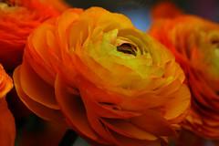 rafz_18_19032015_14'45 (eduard43) Tags: flowers nature natur blumen ranunculus ranunkel 2015 rafz turbanbuttercups