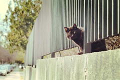 098.365 - 08.04.15 (oana-emilia) Tags: street cats cat fence blackcat budapest streetphotography streetscene april day98 aristocat shuttersisters shuttersister shuttersister365 day98365 365the2015edition 3652015 8apr15