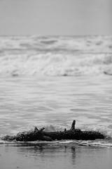 searching for peace (grafficartistg4) Tags: ocean wood sea food tree bird beach wet water digital canon bag bread eos sand waves branch crash salt wave dry pebbles h2o pebble salty dslr raven f4 crashing 30d 70200mm