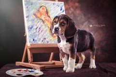 Choppy (Lo_straniero) Tags: dog beagle cane fotografo younesstaouil wwwyounesstaouilcom