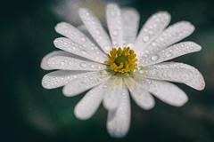 Frühlingsblume mit Tropfen (Fotos4RR) Tags: flower water drops spring wasser blume tropfen frühling