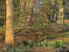 Shadows of Springtime (Dave Roberts3) Tags: park flowers trees wales landscape spring branch shadows newport daffodil gwent beechwoodpark citrit naturethroughthelens